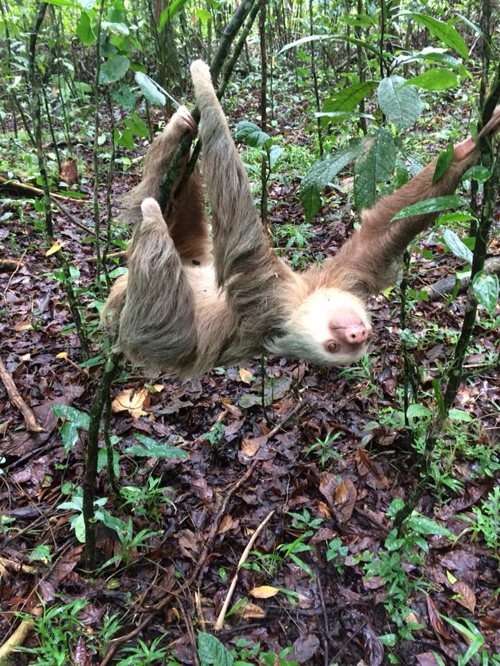 Sloth Watching Trail Arenal Volcano