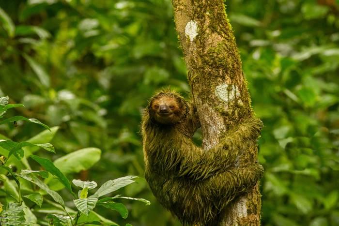 La Fortuna Sloth Watching Trail Arenal Volcano Costa Rica