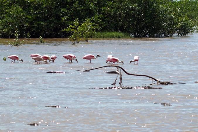 Jaco beach cocodrile tour tarcoles river 4